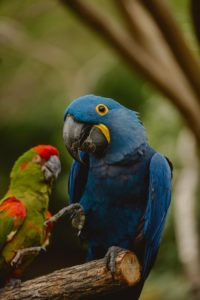 Image of Blue Macaw sitting on branch